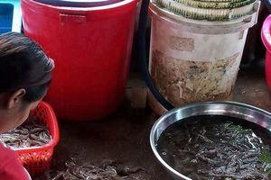 Cà Mau: Giá tôm giảm mạnh, nông dân 'treo ao' vì thua lỗ
