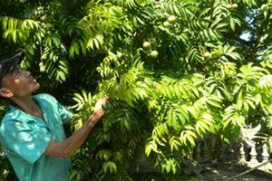 Về làng sấu 2.000 cây ở Hưng Yên, phát hờn vì... thèm