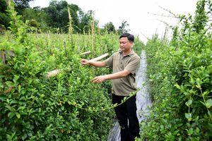 Sản xuất trà dược liệu trên vùng đệm Pù Mát