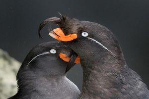 Loài chim có thể tự tạo mùi nước hoa riêng 'thơm nức mũi'