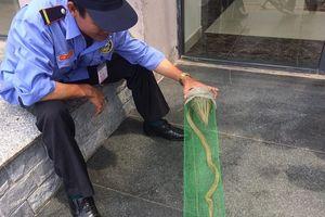 Bảo vệ chung cư ở Hà Nội bắt được rắn hổ mang dài 1m