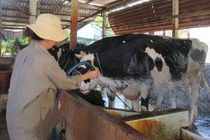 Hàng ngàn hộ nuôi bò sữa bỏ nghề
