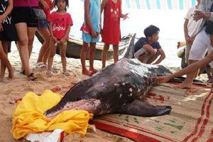 Trắng đêm 'giải cứu' cá heo dạt bờ biển Thuận An