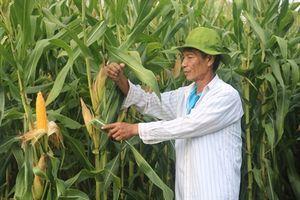 Ngô GMO vững chân trên nhiều địa bàn