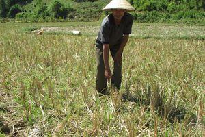 Thiếu nước, hàng trăm ha lúa ở Con Cuông chưa thể gieo cấy