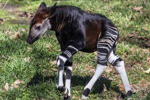 Congo bị chỉ trích dùng động vật quý hiếm đổi lợi ích từ Trung Quốc