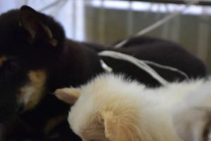 Nắng nóng đỉnh điểm, hàng loạt thú cưng phải nhập viện