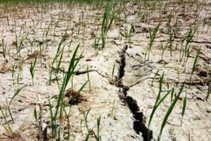 Thanh Hóa: Hàng trăm ha lúa sắp chết cháy vì nắng như thiêu đốt