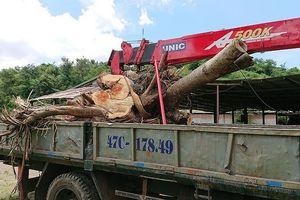 Tự ý cắt gỗ tang vật, Kiểm lâm phải xin thỏa thuận sửa sai!