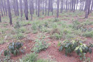 Lâm Đồng: Rừng thông bị đốn hạ để bán đất cho người dân trồng cà phê