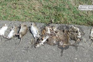 Ném chuột ra đường!