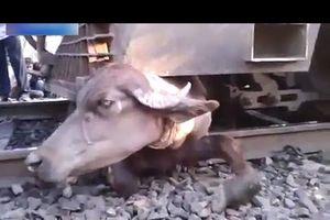 Thừa Thiên Huế: Tàu khách SE11 tông trúng trâu, đường sắt tê liệt nhiều giờ