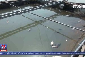 Cá lồng ở Phú Thọ lại chết hàng loạt do xả lũ
