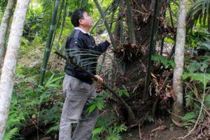 'Kỳ tửu' của người Dao được chưng cất từ loài cây dại này đây