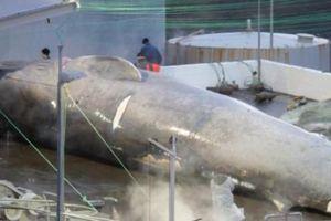 Xẻ thịt cá voi to như tàu ngầm ở Iceland: 'Thủ phạm' nói gì?