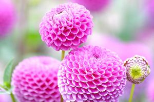 Ngất ngây với lễ hội hoa thược dược ở xứ sở mặt trời mọc!