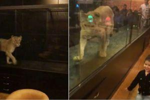Nhốt sư tử sống vào lồng kính mua vui cho khách, tiệm cà phê hứng chỉ trích