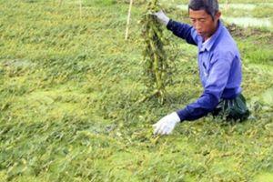 Loại rau lớn nhanh như thổi, hái mỗi ngày, cứ đếm ngọn là ra tiền