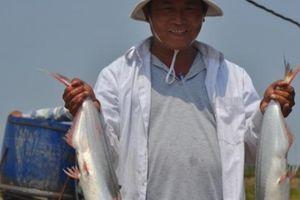 Nuôi loài cá dứa sợ bùn, sau 1 năm, cứ 1.000 con lãi ròng 70 triệu