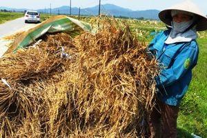 Vụ mất mùa lịch sử do giống Thiên ưu 8: Thiệt hại 10 vạn tấn lúa, chỉ xử phạt 25 triệu đồng?