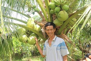 Dừa dứa dễ trồng, năng suất cao, không phải lo đầu ra