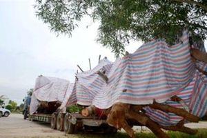 Tình tiết bất ngờ vụ cây khủng tạm giữ ở Quảng Ngãi