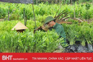 Vũ Quang dự kiến thu nhập gần 49 tỷ đồng/năm từ rừng nguyên liệu