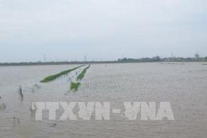 Hà Nội có gần 700 ha lúa bị ngập