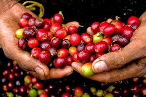 Giá cà phê hôm nay 21/7: Tiếp tục tăng, Gia Lai cao nhất cả nước