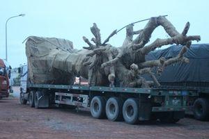 Xe đầu kéo chở cây 'siêu khủng' bị tạm giữ tại Quảng Trị