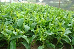Bài thuốc quí từ cây cỏ 'nhà quê' chữa bệnh suy thận cực hiệu nghiệm