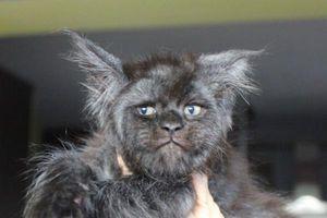 Chú mèo trở thành hiện tượng mạng vì có khuôn mặt giống người