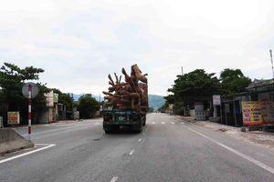 Quảng Trị: Phát hiện cây 'khủng' thong dong trên Quốc lộ 1A