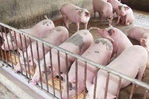 Giá heo hơi hôm nay 22/7: Giá lợn Miền Bắc lập kỷ lục mới
