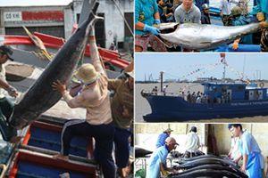 Sản lượng khai thác cá ngừ cuối vụ ở Phú Yên thấp do biển động