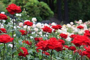 Ngắm vườn hồng hàng nghìn gốc đẹp mê hồn ở Nhật Bản