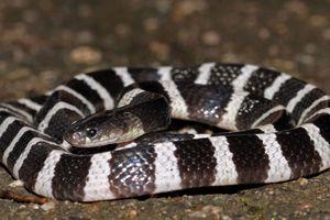 Bị rắn cưng thuộc loài cực độc cắn cô gái hôn mê sâu và chết não