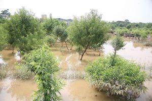 Nông dân Nhật Tân lo ngay ngáy vì hàng nghìn gốc đào ngập trong biển nước