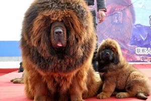 Vụ chó ngao Tây Tạng cắn chết bé 8 tháng tuổi: 'Không nên mua chó đã trưởng thành về nuôi'