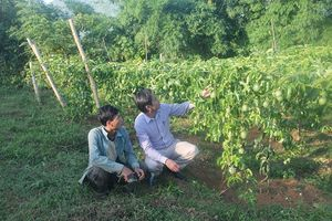 Nghệ An: Thoát nghèo nhờ cây chanh leo