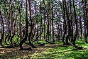Giải mã bí ẩn về khu rừng kỳ quái, cây không thể mọc thẳng được
