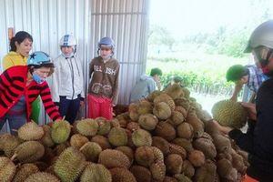 Về Vĩnh Long ăn sầu riêng 19.000 đồng/kg