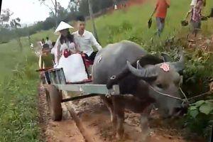 Clip: Chú rể đón dâu bằng xe trâu ở Nghệ An
