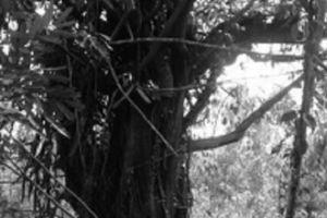 Nghi án lập khống hồ sơ: Cây 'khủng' bị tạm giữ ở quảng ngãi vẫn… xanh tốt ở phú yên
