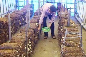 Nghệ An: Trồng nấm rơm trong nhà