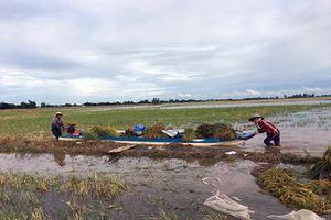 Lũ sớm gây ngập lúa ở Đồng bằng sông Cửu Long