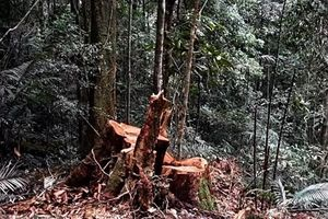 Vụ phá rừng lim cổ thụ: Hai đối tượng bị truy nã ra đầu thú