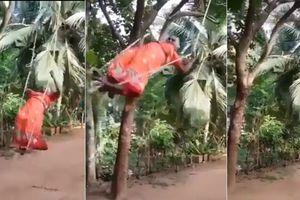 Bà cụ chơi 'đánh đu' trên cây dừa hot nhất mạng xã hội