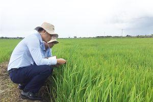 Vinaseed bao tiêu lúa gạo VietGAP Buôn Choah