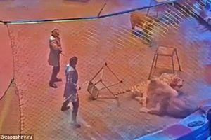 Cuộc tấn công bất ngờ của hổ với sư tử ngay giữa sân khấu xiếc thú